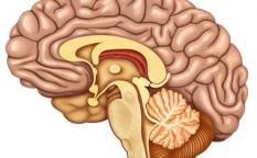 seccion del cerebro con vista lateral