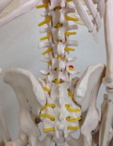 背骨(骨盤周辺)