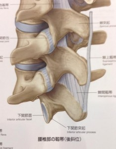 腰椎の靭帯